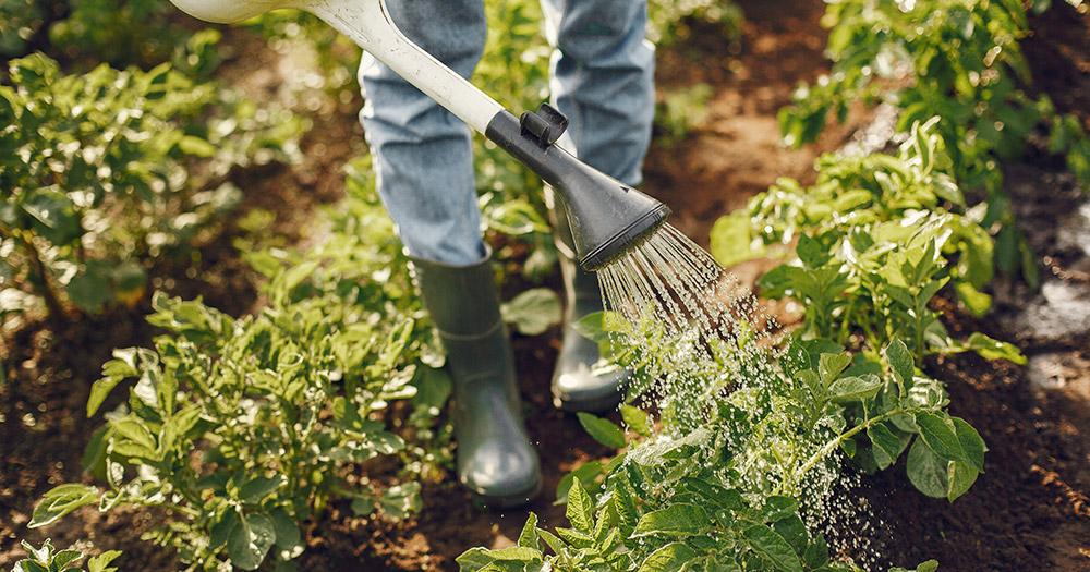 Phương thức trồng rau tại nhà đơn giản, hiệu quả